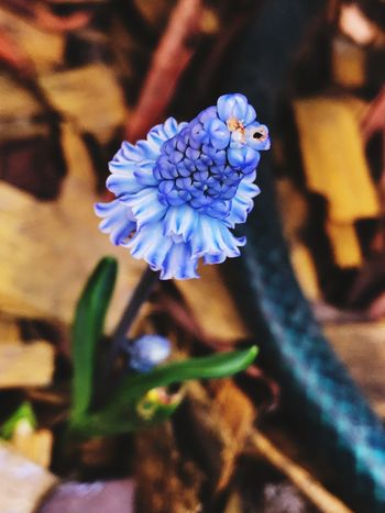 EyeEmNewHere Flowering Plant Flower Freshness Fragility Petal Vulnerability  Plant Beauty In Nature Focus On Foreground Flower Head Nature No People Blue Close-up Selective Focus Growth Inflorescence Purple Outdoors Day
