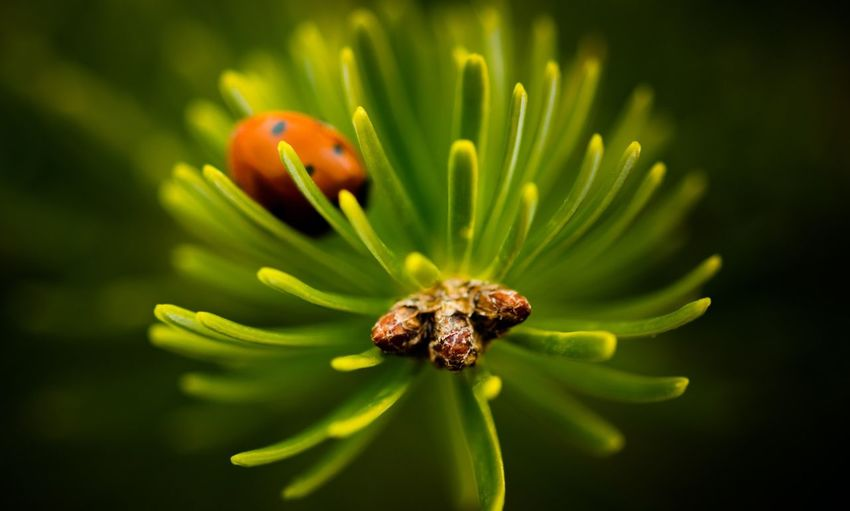Nature Flower One Animal Animal Themes Animals In The Wild No People Close-up Fragility Insect Beauty In Nature Growth Flower Head Outdoors Day Freshness Ladybug