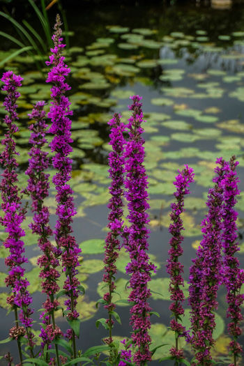 Pond Pond Nature Flowers Fokus On Foreground