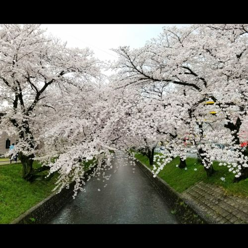 Nature Beauty In Nature Taking Photos Nikonphotographers Sakura 2017 Sakura