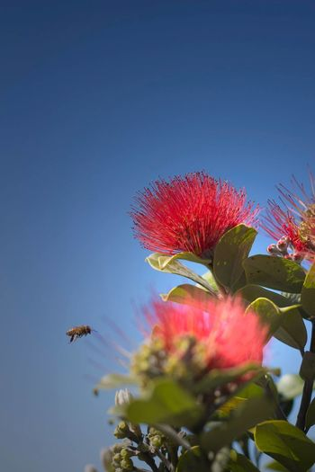 NZ Pohutukawa Tree Summernz Red Bee HoneyBee Newzealandchristmastree Newzealandphotography Beeapprochingflower Pohutukawaflower Details Of Nature Redflowers The Essence Of Summer Save The Bees