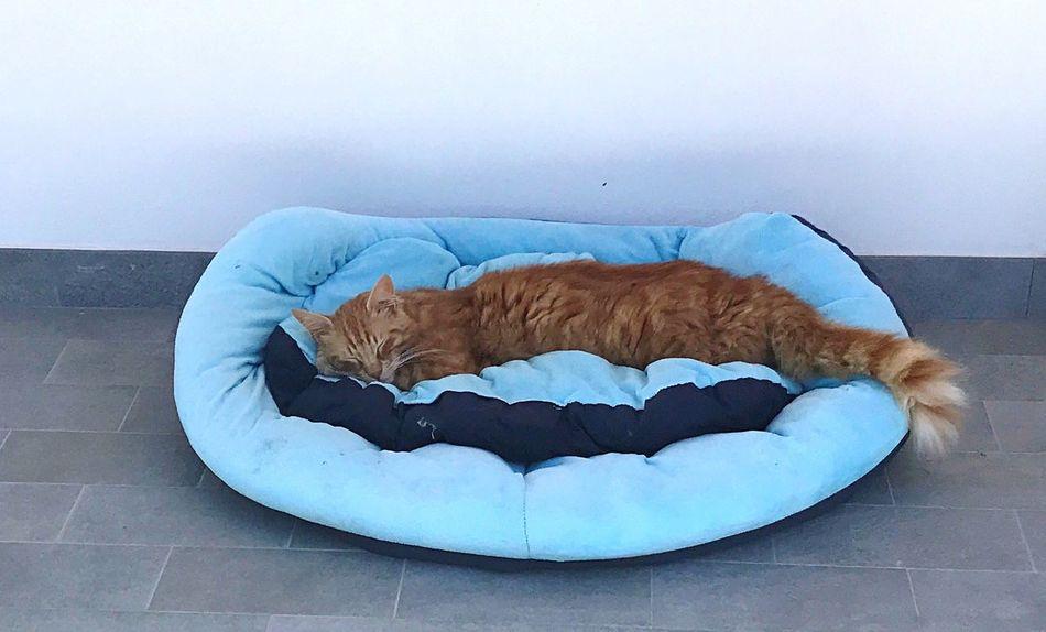 Pets Domestic Cat