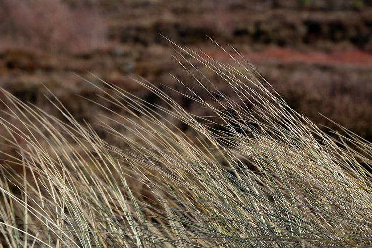 Marram grass in
