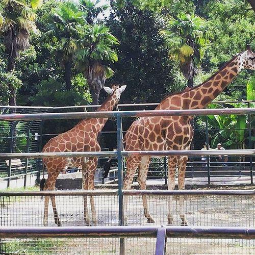 Giraffe Collolungo Giardinozoologico