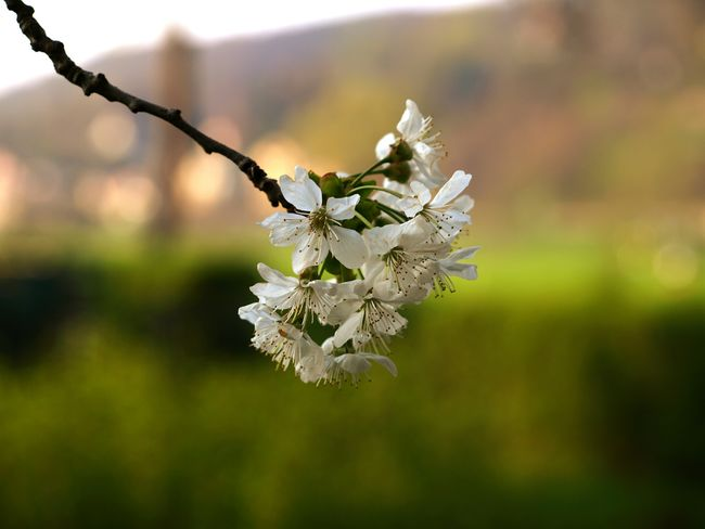 Nature No People Close-up Focus On Foreground Fragility Flower Beauty In Nature Tree Plant Outdoors Cherry Tree Botany Kirschbaum Kirschbaumblüten Frühling Flower Head White Color Beauty In Nature