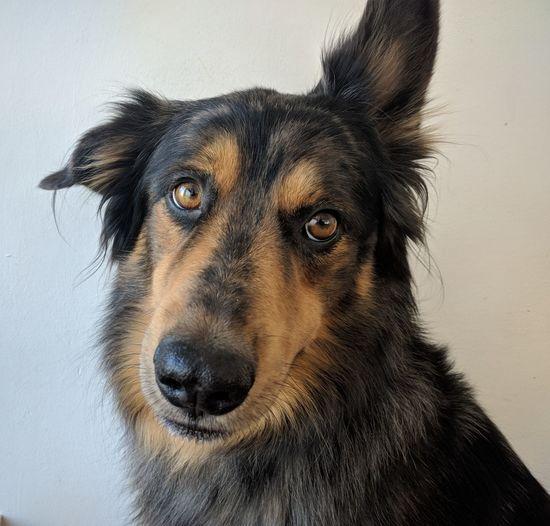 Enea - cane dog