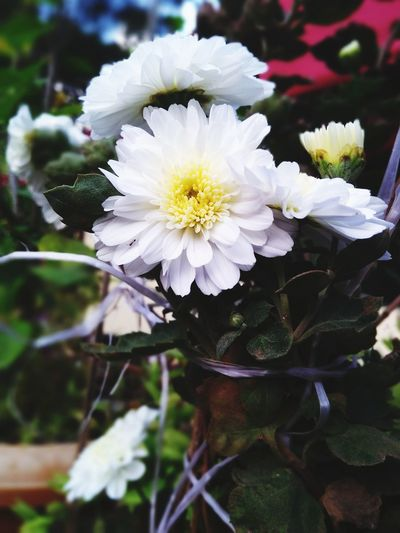 white and yellow Flower White Color Flower Head Fragility Petal Nature Freshness