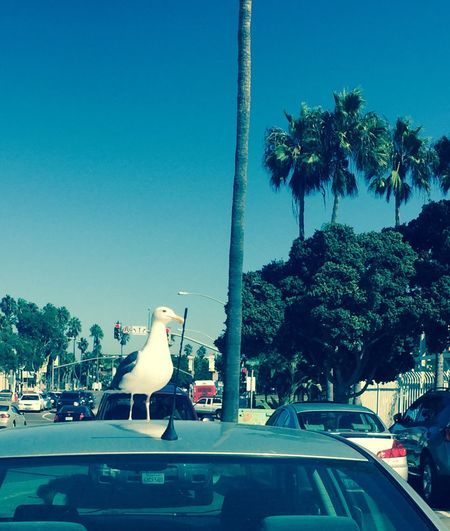 Seagull Mission Beach Mission Beach San Diego Belmont Park Birds Bird Photography