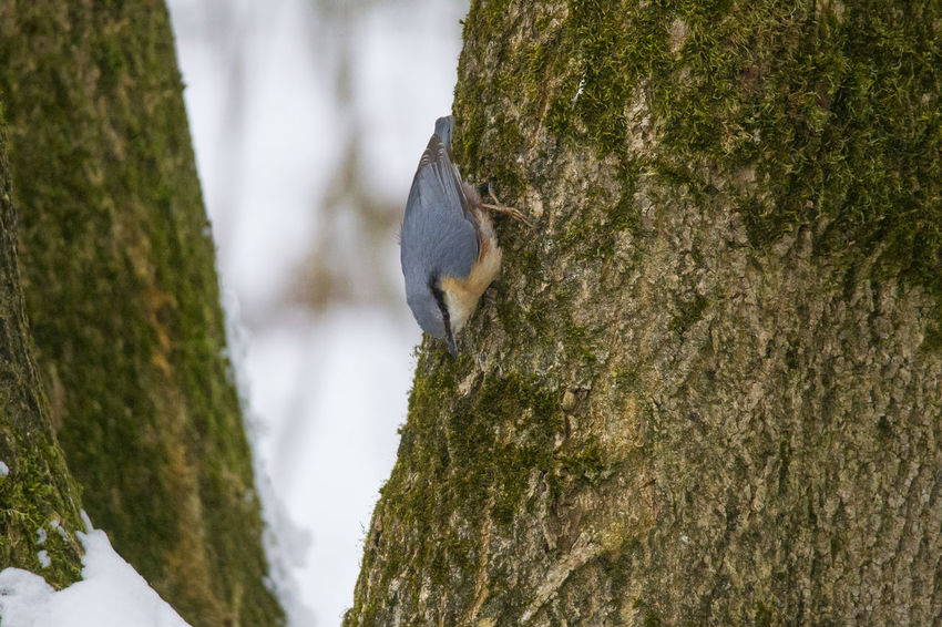A nuthatch sits upside down on the mossy trunk of a tree picking up a sunflower seed Animal Themes Animal Wildlife Animals In The Wild Bird Close-up Day Focus On Foreground Moss Nature No People One Animal Outdoors Perching Squirrel Tree Tree Trunk Woodpecker