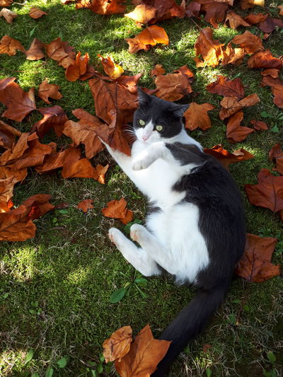 Pets Animal Themes High Angle View One Animal Domestic Animals Day Mammal Cat Foliage October Leafs Posing Autumn Autumn Leaves Calendar Cat Domestic Cat Outdoors Nature Grass Autumn Mood