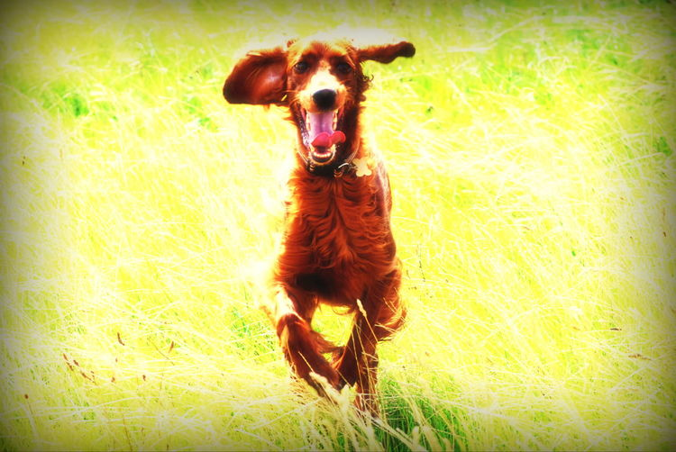 Freya Pets Dog Domestic Animals Redsetter Running Having Fun Irish Setter Freya Southsea Hampshire  England Pets Dog Portrait Animal Themes Grass