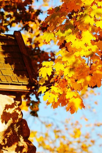 Autumn Leaves Autumn colors Beauty In Nature Lithuania Fall Trakai Autumn Leaf Yellow Change Sky Close-up Maple Tree Blooming Maple Leaf Leaves Autumn Collection Residential Structure Maple Branch