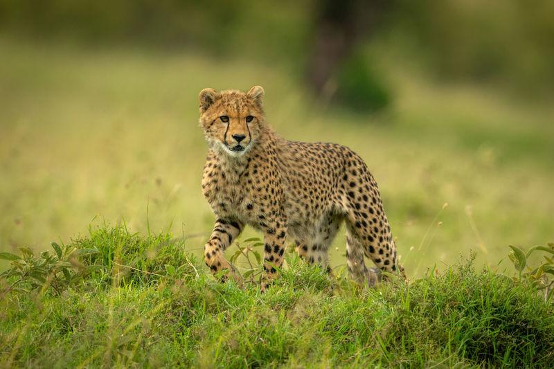 Cheetah cub walks through grass turning head