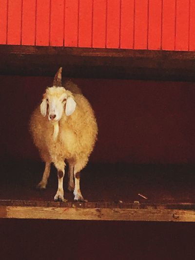 Sheep In Red Barn Sheep Loner One Horned Sheep