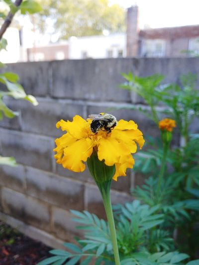 pollination Marigold Beautiful Nature Flower Head Flower Bee Buzzing Pollination Yellow Insect Petal Animal Themes Close-up Honey Bee Bumblebee Symbiotic Relationship Pollen Cosmos Flower Blooming