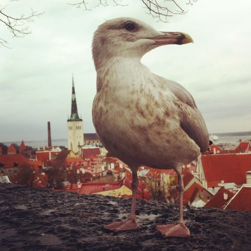 A seagull in front of old town of Tallinn, Estonia. Alone Bird Close-up Estonia No People Seagull Tallinn Tallinn Old Town