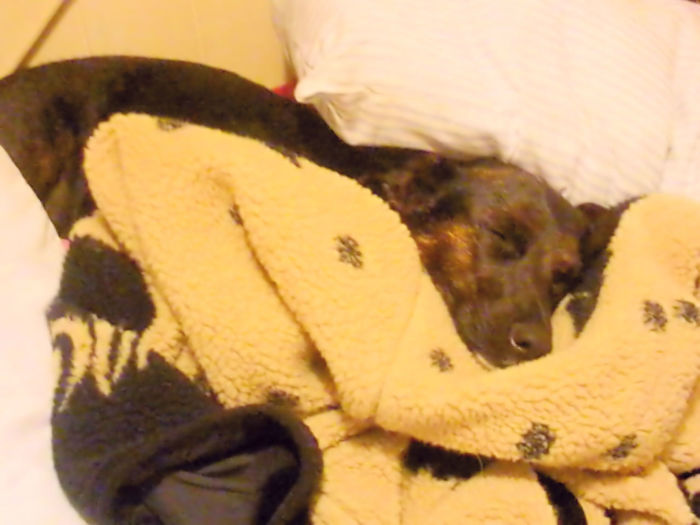 Adorable Adorable Dog Aniamls Close-up Comfortable Cute Cute Pets Dog Home Indoors  Relaxation Relaxing Sleep Sleeping Sleeping Dog Sleepy Snuggling