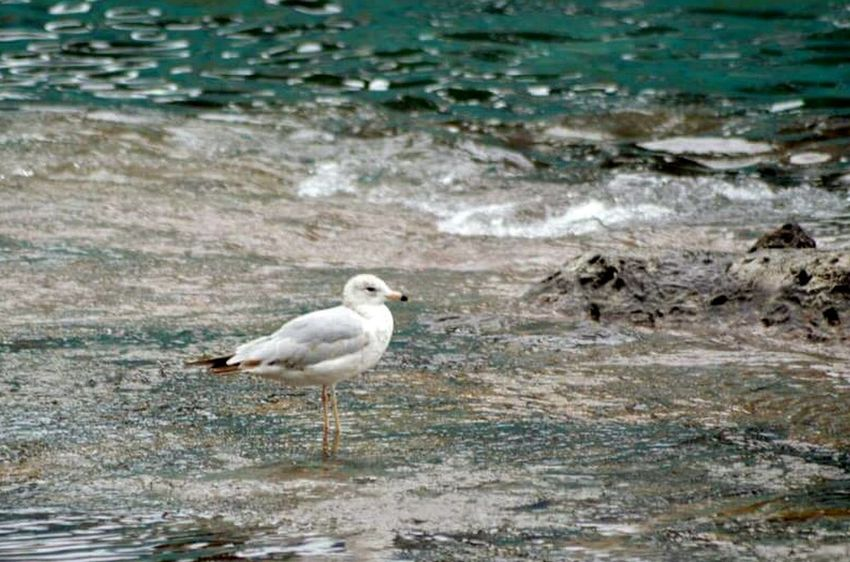 The lonely seagull. Bird Photography Natures Beauty Outdoors Summer No People Seagull Waters Edge Water Waterscape Great Outdoors One Animal Day Bird Beauty In Nature Nature
