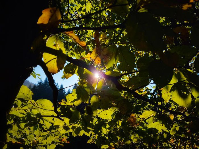 Tree Sunbeam Nature Sunlight Leaf Green Color Outdoors Beauty In Nature Sun Forest Silhouette Growth Tranquility Growth Branch Day Sky Illuminated Autumn Leaves Autumn Colors Fagus Sylvatica Tranquility