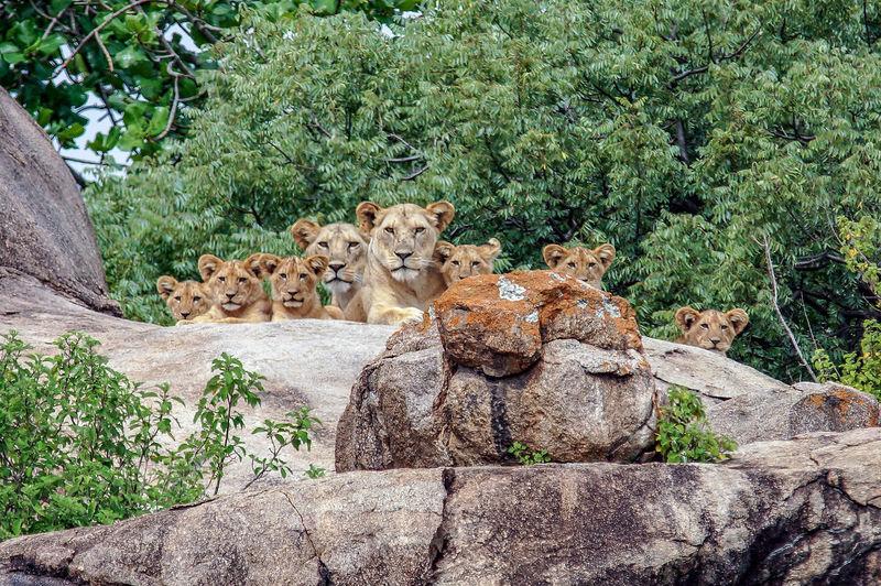 Löwenfamilie,