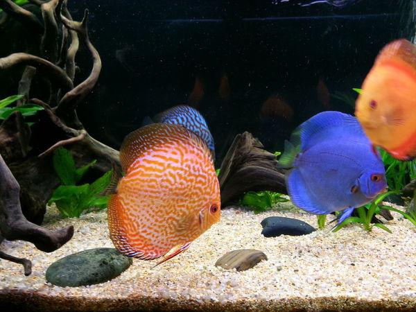 Discus Aquarium Discusfish