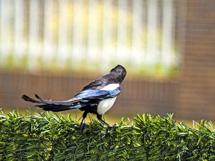 Adapted To The City Animal Themes Animal Wildlife Animals Animals In The Wild Animals In The Wild Bird Birds Cityscape Day Jay Magpie Magpie Bird Magpies Nature No People One Animal Outdoors Perching Pica Pica Still Life Urban Landscape Urban Scene Wildlife