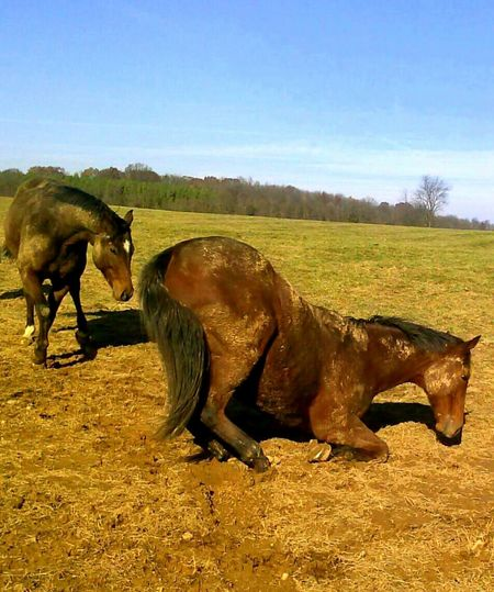 Horses Horselovers Horse Photography  Horse Kneeling Horse Covered In Mud Virginia