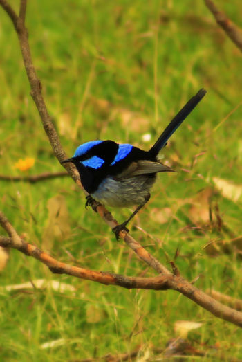 Animal Themes Animal Wildlife Animals In The Wild Beautiful Nature Beauty In Nature Bird Black And Blue Blue Birdies Blue Fairy Wren Branches Close-up Cute Animals Day Fairy Wren Fairytales & Dreams Focus On Foreground Garden Grass Most Beautiful Bird Nature Naturelovers No People One Animal Outdoors Perching
