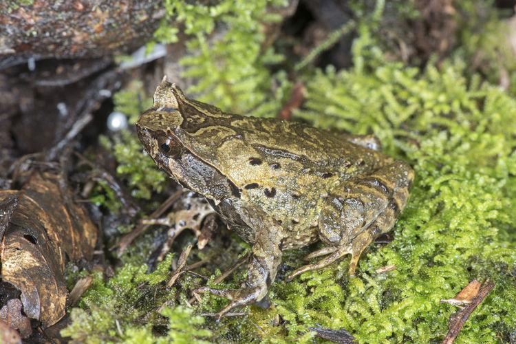 Horn frog of Borneo Borneo Endangered Species Frog Land Below The Wind Megophrys Nasuta Endemic Herping Megophrys Kobayashii Rare Sabah Xenophrys