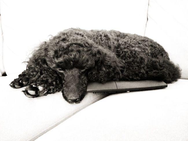 Black Dog Watching Tv Poodle Tv Remote Sofa Pets Dog Close-up