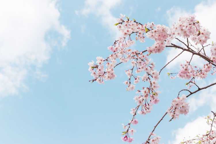 Pastel pink cherry blossoms (sakura) blooming in spring in bright sunny day with blue sky Tree Flowering Plant Beauty In Nature Plant Flower Fragility Branch Blossom Pink Color Vulnerability  Freshness Sky Low Angle View Springtime Growth Cherry Blossom Nature Cherry Tree Day Cloud - Sky No People Outdoors Flower Head Spring Hanami Blooming Sakura