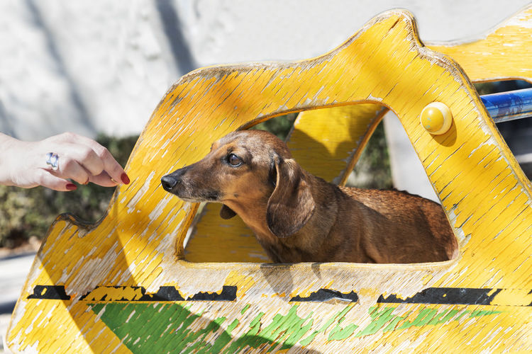 Beautiful brown dachshund at the park in a sunny day. One Animal Pets Domestic Animals Mammal Dog Canine Vertebrate Day Dauchshund Beautiful Animal Park Sunny Toboggan Portrait Nature Background Wallpaper Copy Space Pedigree Breed Fun Domestic Standard Beauty No People Urban Life Fur Cute Outdoors