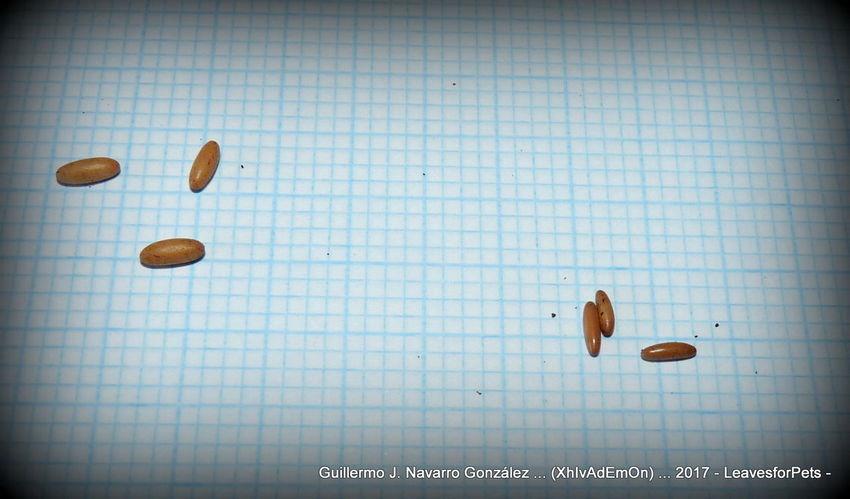 Grasshopper Insect Nature Close-up Colossopus Day Eggs Grandidier Grasshopper Grasshopper Photography Indoors  Katydids Kaydid Nimph Ninfa No People