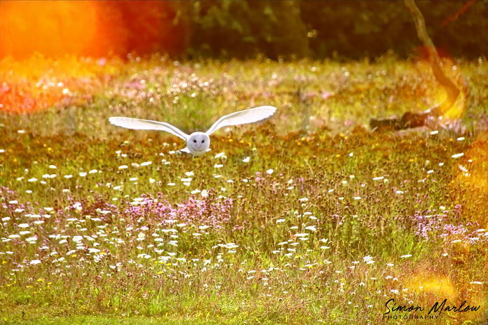 Barn Owl flying through a meadow Animal Animal Themes Animals In The Wild Beauty In Nature Day Field Flower Flowering Plant Fragility Freshness Grass Growth Land Nature No People One Animal Outdoors Plant Vertebrate Vulnerability