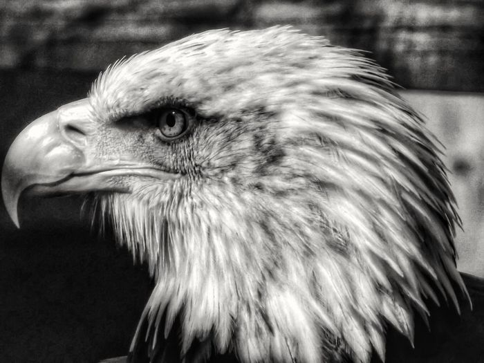 Beautiful Bald Eagle in Black & White Birds Wildlife Photography EyeEm Birds Birds_collection Birds Of EyeEm  Close-up Close Up EyeEm Best Shots - Nature The Beauty Of Nature Birds Eye View Wildlife & Nature Close Up Photography Showcase July 2016 EyeEm Best Shots - HDR Malephotographerofthemonth Hdr_captures Fujifilm EyeEm Masterclass Monochrome Black And White Photography Monochrome PhotographyBlack And White Bnw Bird Photography Nature And Wildlife By Tony Bayliss