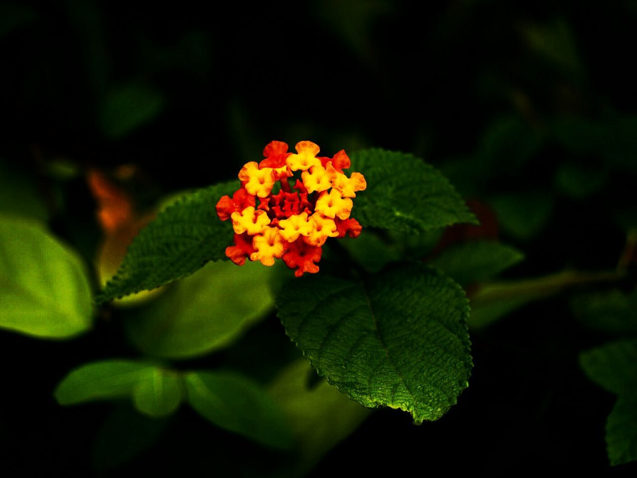 flower, leaf, growth, green color, freshness, beauty in nature, plant, nature, petal, fragility, lantana camara, flower head, no people, close-up, blooming, outdoors, red, day, zinnia