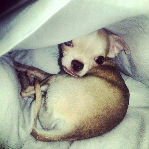 Inside the pillow case Chihuahua Applehead Dogofthedayjp Dogs dogsofinsta dogoftheday dogstagram petstagram pets petoftheday petsofinstagram pawtraits ignation instagood instabai instadaily webstagram ignation
