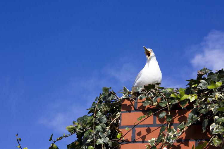 Gull's
