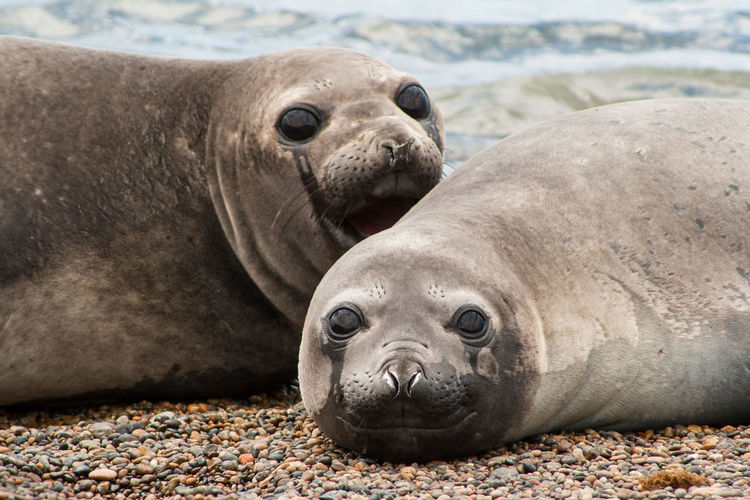 Portrait Of Seals Lying On Sand At Beach