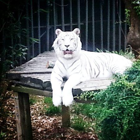 White Tiger Tiger Audubon Zoo New Orleans, LA Exotic Big Cat Feline Relaxing Endangered Species Endangered Animals Endangered