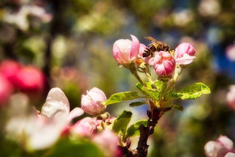 Apfelblüte mit