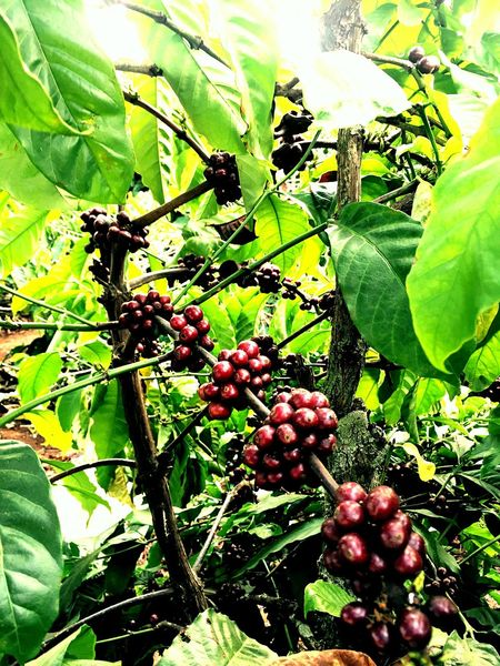 Fruit Growth Tree Food And Drink Leaf Green Color Nature Close-up Outdoors No People Agriculture Day Plant Freshness Branch Beauty In Nature Coffee Coffeeplant Plantation Coffeebean