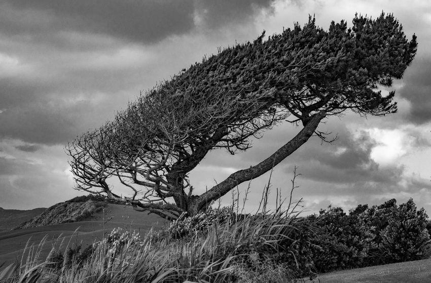 Tree Landscape Grass Blackandwhite Black & White Raglan Raglan Nz Windswept Tree Badhairday