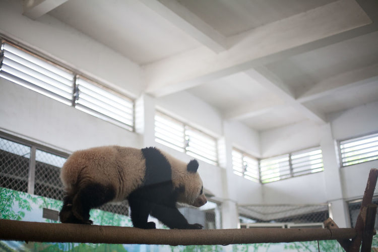 Side view of a panda walking