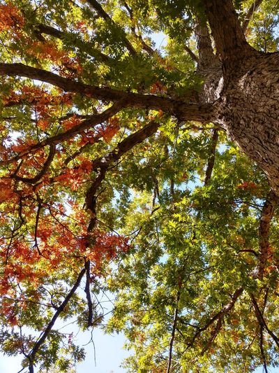 The mighty oak No People Lookingup Looking Up Multicolored Colorful Multi Colored Orange Buffalo, NY EyeEmNewHere Oak Oak Tree Branches And Leaves Branches Tree Branch Forest Tree Trunk Full Frame Backgrounds Leaf Sky Green Color Directly Below