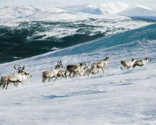 Flock of reindeer on snow covered mountain