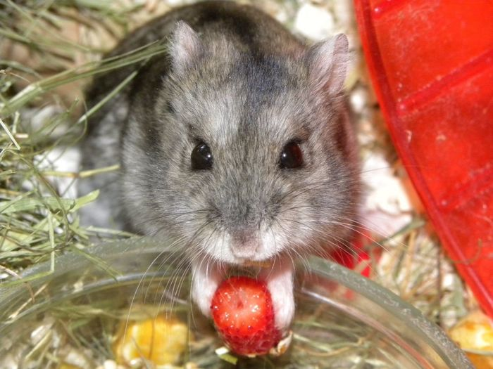 My Hamster Cute Maxy Strawberry Love Pets Portrait Hamster Looking At Camera Red
