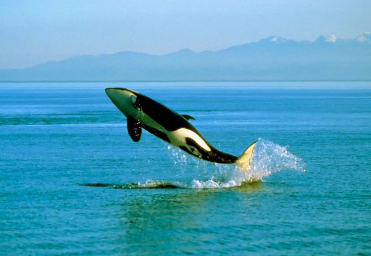 Killer whale diving in sea against sky