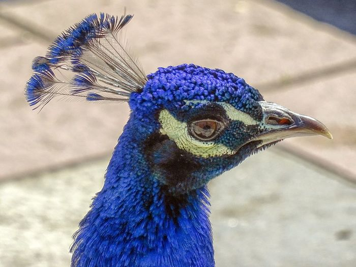 Color Pavo Real Ave Pajaro Azul Blue Nature Bird Peacock Peacock Feather Blue Beak Multi Colored Feather  Close-up
