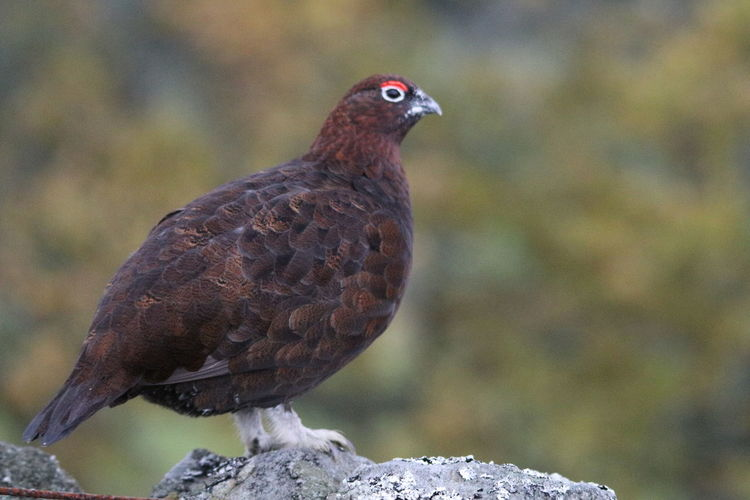 Red Grouse Bird